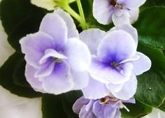 African-violet-plant-LEAF-leaves-cutting-JOLLY-ORCHID