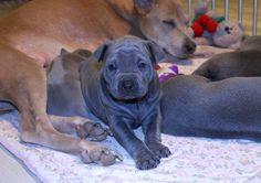 TRD puppies - PLUMS´JEWEL
