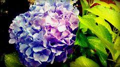 """I fiori che non colsi on Flickr. Nel mio giardino  HORTENSE SOUS LA PLUIE """"Ô terrible frisson des amours novices sur le sol sanglant et par l'hydrogène clarteux!trouvez Hortense.""""  Les illuminations: H (A. Rimbaud)"""