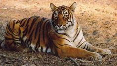 Tiger tiger burning bright - finding you in India http://www.insidethetravellab.com/safari-tiger/