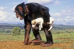 the Chimp is holding a Buttercup-like puppy.  Obviously this is the cutest thing I've seen -ever.