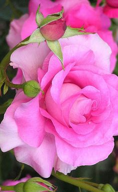Pretty in pink Rose Beautiful Rose Flowers, Pretty Roses, Romantic Roses, Flowers Nature, Exotic Flowers, Amazing Flowers, My Flower, Colorful Flowers, Pink Flowers