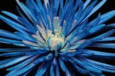 blue spider mum