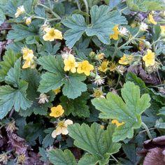 WALDSTEINIA geoides : Tapissante, couvre-sol, à planter en terre plutôt humifère. Résiste cependant bien à la sécheresse. Touffes non rhizomateuses. Beau feuillage semi-persistant, lobé, teinté de brun en automne. Fleurs jaunes.