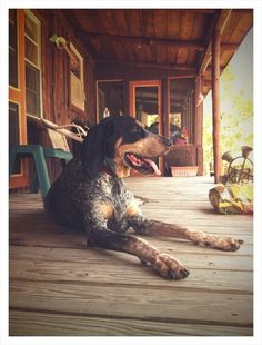 always wanted a bluetick coonhound, got a catahoula though instead <3