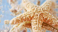 estrellas de mar - Cerca amb Google