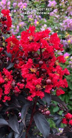 'Center Stage' Red Crapemyrtle's black foliage and red flowers command center stage in your landscape. Its unique foliage and cheery flowers add interest from spring through fall, truly shining when the heat is on. This shrub crapemyrtle is vigorous and resists the diseases that often plague the species, so you'll enjoy clean, glossy foliage all season long. It naturally grows with a narrow, space-saving habit that eliminates the need to prune. Try this beautiful flowering shrub in clay… Red Plants, Types Of Plants, Red Flowers, Colorful Flowers, Autumn Summer, Spring, Fall, Lagerstroemia, Border Plants