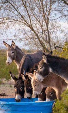 So cute donkey Baby Donkey, Cute Donkey, Mini Donkey, Baby Cows, Farm Animals, Animals And Pets, Funny Animals, Cute Animals, Wild Animals