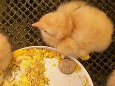 Hickery Holler Farm: Raising Baby Chicks