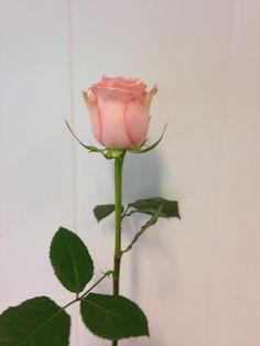 Norsk navn: Rose - Soduko Botanisk navn: Rosa - Soduko
