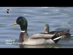 Duck Behavior - YouTube