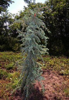 narrow growth shrubs | Canada Plants • Cedrus deodara 'Eisregen' (Eisregen Deodara Cedar)