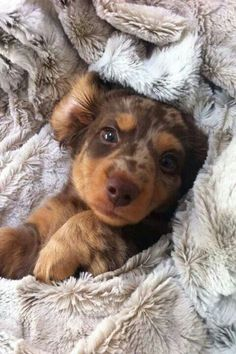 "Red Dapple Miniature Longhaired Dachshund Puppy | This is when I say ""Just one more couldn't hurt!?"" Adorable puppy wrapped in warm blanket! You can get comfy throws, on sale this time of year, to spoil your dog."