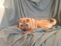 Shar pei ♥️ everything is creasy I love her!😍🐕