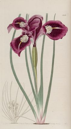 Edward's Botanical Register, plate 1218