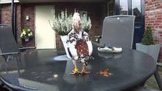 Agen Sabung Ayam Online - Clik Images for more information Image