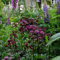 buy Astrantia 'Hadspen Blood' Regarded as the darkest red Astrantia with a superb mahogany tipped red collar. Dark maroon stems and similarly tinted foliage Shade Garden, Garden Plants, Astrantia Major, Cottage Garden Design, Cut Flower Garden, Woodland Garden, Shade Plants, Outdoor Plants, Cut Flowers