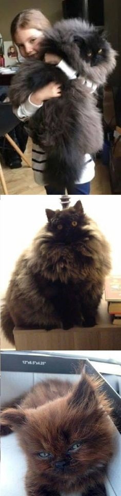 Could be the evil twin of our cat Onyx Jungle Animals, Animals And Pets, Baby Animals, Funny Animals, Cute Animals, Pretty Cats, Beautiful Cats, Cute Cats, Gatos Maine Coon