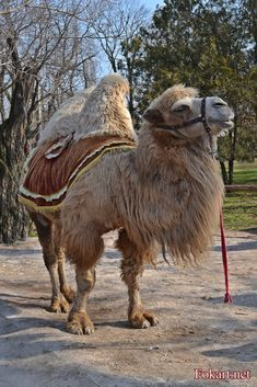 Bactrian Camel, Camelo, Mongolia, Felting, Illustration, Bathroom, Christmas, Photography, Pictures