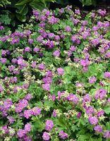 Peittokurjenpolvi (väristä ei vielä tietoa 27.5.) Geranium x cantabrigiense  Kukinta: heinä-elokuu Kasvukorkeus: 20-30 cm Kasvupaikka: aurinkoinen, puolivarjoinen Talvenkesto: erittäin kestävä  Peittokurjenpolvi on helppohoitoinen jokapaikan kasvi. Se sietää jonkin verran kuivuuttakin. Peittokurjenpolvi on nimensä mukaisesti rehevä- ja tiiviskasvuinen peittokasvi.