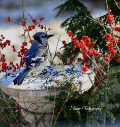 Bluejay feeding in winter. They are my favorite wild birds.