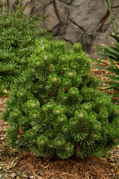 Monrovia's Sherwood Compact Mugo Pine details and information. Learn more about Monrovia plants and best practices for best possible plant performance. Evergreen Landscape, Evergreen Garden, Evergreen Shrubs, Trees And Shrubs, Trees To Plant, Pine Garden, Dwarf Trees, Garden Shrubs, Garden Trees