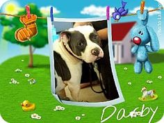 Fort Worth, TX - American Bulldog/American Bulldog Mix. Meet Darby, a dog for adoption. http://www.adoptapet.com/pet/10631183-fort-worth-texas-american-bulldog-mix