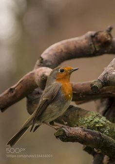 Robin / Rotkehlchen #PatrickBorgenMD