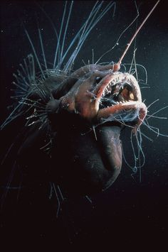 *ANGLER FISH ~ deep sea angler - Once you get really deep, the ocean has such incredible wonders. The Angler fish is the boss of the deep sea. Deep Sea Creatures, Weird Creatures, Deep Sea Animals, Underwater Creatures, Underwater Life, Fauna Marina, Angler Fish, Deep Sea Fishing, Tier Fotos