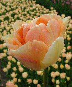 Tulip Charming Beauty - Peony Flowering Tulips - Tulips - Fall 2014 Flower Bulbs