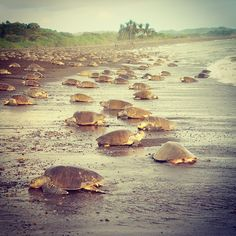 Where to go in Costa Rica to spot turtles? #tortuguero