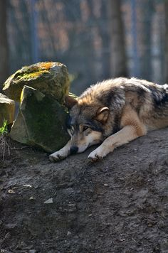Relaxation time for this wolf!