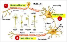Conductibilitatea este proprietatea fibrei nervoase de a conduce informaţia nervoasă şi de a o transmite fie altui neuron (la nivelul sinapsei), fie unui ... Human Anatomy, Biology, Body, Map, Anatomy, Location Map, Human Body Anatomy, Maps, Body Anatomy