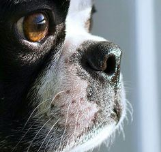 This is the little face that brings me much joy every hour of every day...  nothing like the love of a Boston Terrier ♡ Terrier Breeds, Terrier Puppies, Pitbull Terrier, Dog Breeds, Dogs And Puppies, Doggies, Chihuahua Dogs, Terrier Mix, Cãezinhos Bulldog