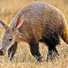 Now do you know how big an aardvark paws are? www.zoovue.com #zoo #conservation #wildlife #aardvark