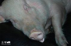 Esther, the wonder pig!