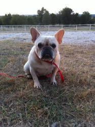 Lou: French Bulldog, Dog; Sallisaw, OK