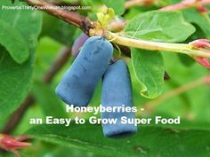 How to Grow Honeyberries. An unusual berry that's full of healthy phytochemicals. We have them available here at the nursery.