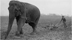 As World War One raged, the military purchased most of England's horses and sent them to the Western Front. Many farmers and traders had to find alternative beasts of burden, but none more exotic than elephants. Elephants from Sangar's Circus were used to plough fields in Surrey (pictured).