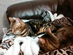 Bengal/Savannah cats... Kasper and Karma