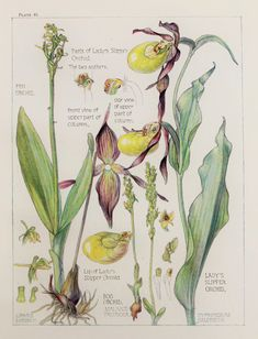 1910 Antique Botanical Print by H. Isabel Adams: Orchid