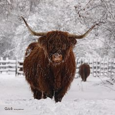 hard times I Scottish Highlands, Hard Times, Cattle, Cow, Animals, Gado Gado, Tough Times, Animaux, Animales
