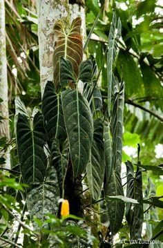 Philodendron melanochrysum, Puyo, Ecuador