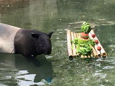 Soon cool for tapir