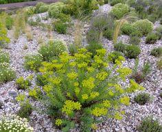 Die Steppen-Wolfsmilch (Euphorbia seguieriana) entwickelt sich zwar ausgesprochen träge. Sie belohnt den Geduldigen dafür mit glasklarem Steppenfeeling.