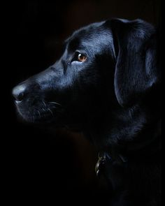 Stunning picture of a black lab