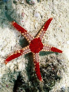 starfish red