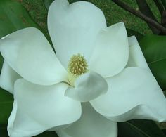 Magnolia Flower by laurapalmerwashere.deviantart.com