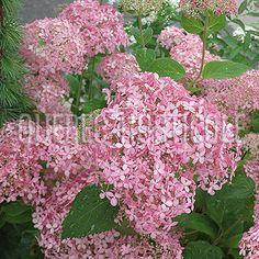 image de Hydrangea arborescens Invincibelle® Spirit Hydrangea, Planting Flowers, Photos, Spirit, Image, Garden, Hydrangeas, Trees And Shrubs, Cottage Gardens