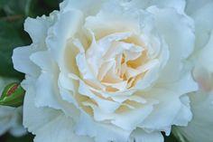 Rose: Princess of Wales